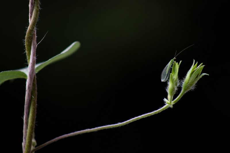 Lacewing bug